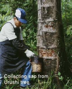 collecting sap from Urushi tree